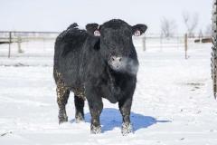 IMG_7145 Bull