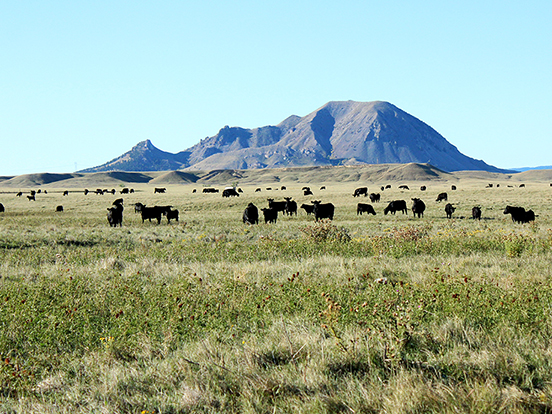Throughout the year our cows live out on the range. Here is part of our herd spread out in front of Bear Butte.