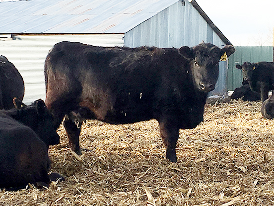 One of our bred Prophet heifers in the calving lot waiting to have her calf.