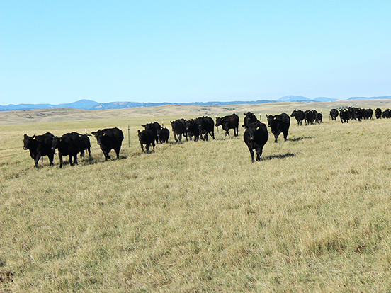 During the summer we rotate our cows to different pastures to help manage our forages.